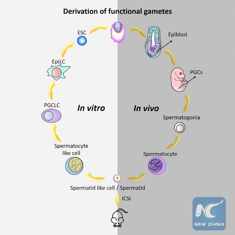 Sperms From Stem Cells